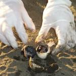 Schildkröteneier Untersuchung