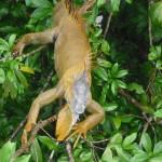 Iguana im Baum