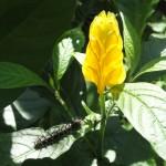 gelbe Helikonie