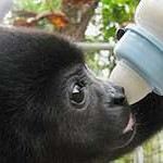 Babyäffchen an Flasche