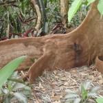 Riesenbaumwurzel